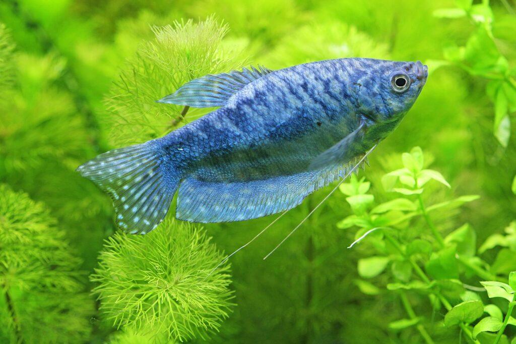 Čichavec modrý